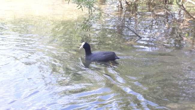 fiume adda cigno nero