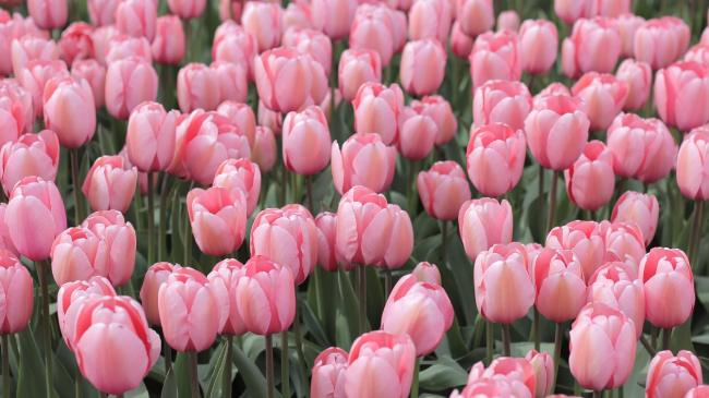 campi_di_tulipani_italia