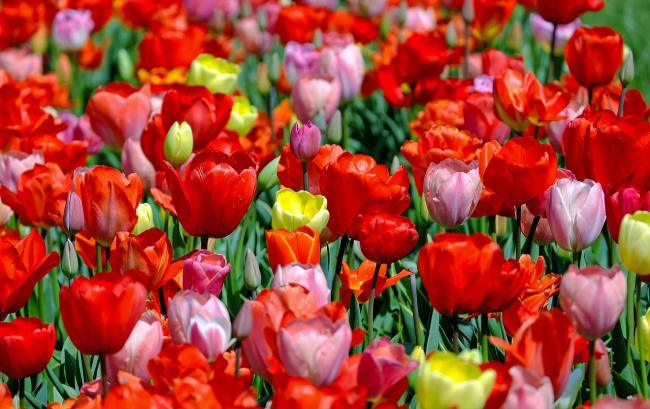campi_di_tulipani
