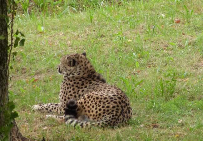 ghepardo parco natura viva