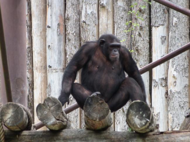 gorilla del parco